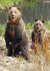 Grizzly bears, Yellowstone Lake Area, Yellowstone National Park