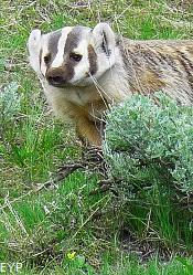 Badger, Tower / Roosevelt Area, Yellowstone National Park