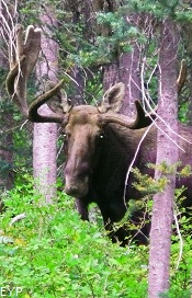Moose, Two Medicine Pass Trail, Glacier National Park