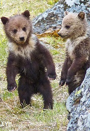 Grizzly Cubs, Yellowstone National Park