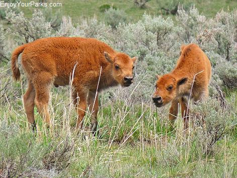 Buffalo calves, aka red dogs, Lamar Valley, Yellowstone National Park