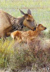 Elk Cow and Calf, Yellowstone National Park