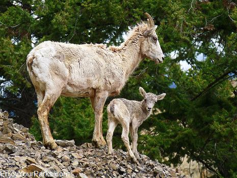 Bighorn sheep ewe and lamb, Tower / Roosevelt Area, Yellowstone National Park