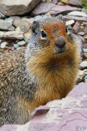Columbian Ground Squirrel, Two Medicine Area, Glacier National Park