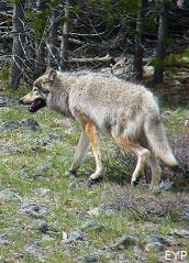 Gray wolf, Grand Canyon of the Yellowstone, Yellowstone National Park