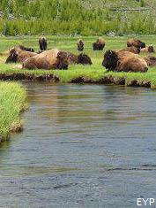 Buffalo along the Firehole River, Madison Junction Area, Yellowstone National Park
