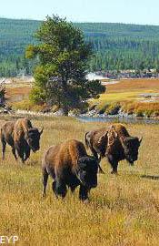 Buffalo, Old Faithful Area, Yellowstone National Park