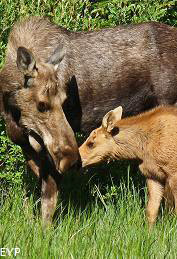 Cow and Calf Moose, Glacier National Park