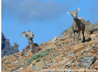 Bighorn Sheep, Two Medicine Area, Glacier National Park