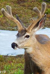 Mule Deer, Iceberg Lake Trail, Glacier National Park
