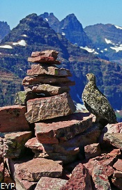 Ptarmigan on Summit Cairn, Two Medicine Area, Glacier National Park