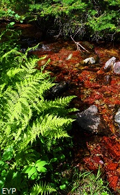Ferns along the trail to Dawson  Pass, Glacier National Park