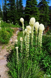 Beargrass, Two Medicine Area, Glacier National Park