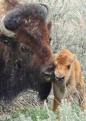 Buffalo cow and calf, Lamar Valley, Yellowstone National Park
