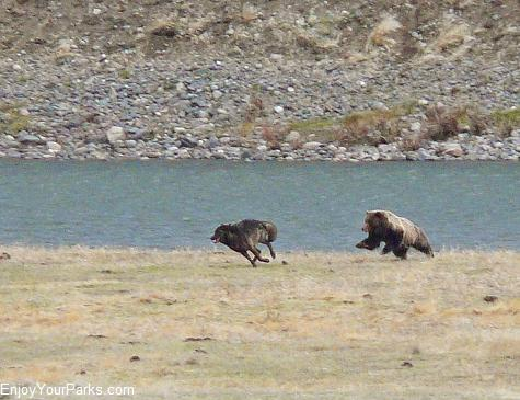 Grizzly bear chasing wolf, Lamar Valley, Yellowstone National Park