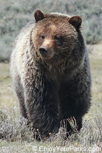 Grizzly Bear, Yellowstone National Park