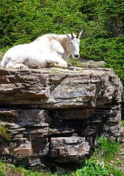 Mountain Goat, Hidden Lake Overlook, Glacier National Park