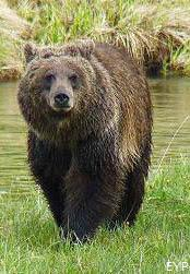 Grizzly bear, Yellowstone Lake Area, Yellowstone National Park