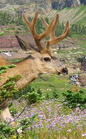 Mule Deer, Hidden Lake Overlook, Glacier National Park