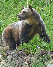 Grizzly Bear, Sperry Glacier Trail, Lake McDonald Area, Glacier National Park