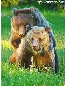 Mating Grizzly bears, Norris Area, Yellowstone National Park