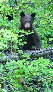 Black bear, Trail of the Cedars, Lake McDonald Area, Glacier National Park