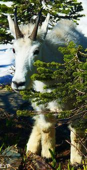 Mountain Goat, Sperry Chalet, Glacier National Park