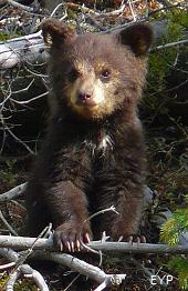Black bear cub, Tower / Roosevelt Area, Yellowstone National Park