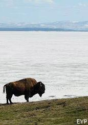 Buffalo, Yellowstone Lake, Yellowstone National Park