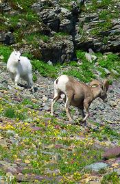 Mountain Goat & Bighorn Sheep, Hidden Lake Overlook, Glacier National Park
