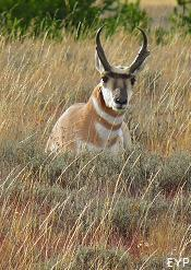 Pronghorn Antelope, Grand Teton National Park