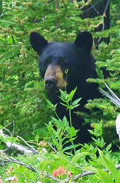 Black bear, Two Medicine Pass, Glacier National Park