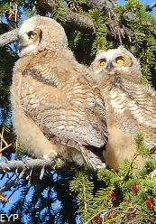 Young great horned owls, Mammoth Hot Springs, Yellowstone National Park