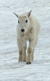 Mountain goat, Sperry Glacier Trail, Lake McDonald Area, Glacier National Park