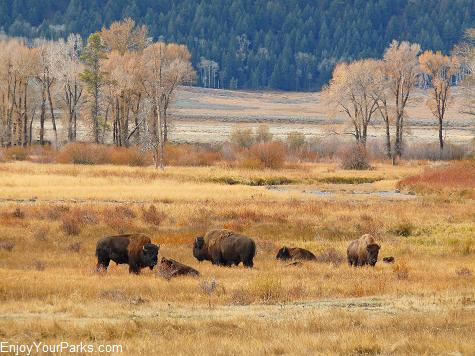 Buffalo, Lamar Valley, Yellowstone National Park