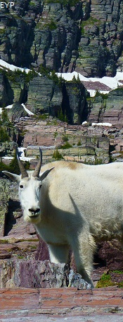 Mountain Goat, Going To The Sun Road, Glacier National Park