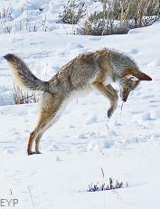 Coyote, Lamar Valley, Yellowstone National Park