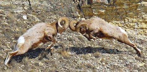 Bighorn Sheep, Lamar Valley, Yellowstone National Park