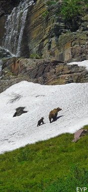 Grizzly Bears, Grinnell Glacier Trail, Glacier National Park