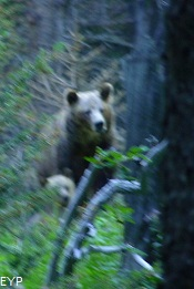 Grizzly bears, Stoney Indian Pass Trail, Glacier National Park