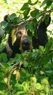 Black Bear, Lake McDonald Area, Glacier National Park