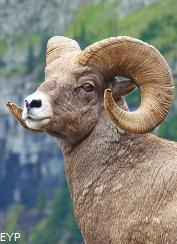 Bighorn Sheep, Many Glacier Area, Glacier National Park