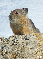 Pika, Grand Teton National Park