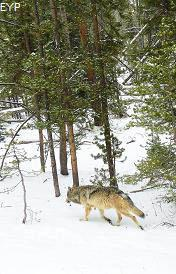 Gray wolf, Norris Junction Area, Yellowstone National Park