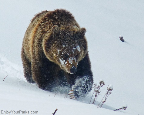 Grizzly bear, Norris Area, Yellowstone National Park