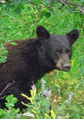 Black bear, Swiftcurrent Pass Trail, Glacier National Park