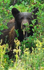Black Bear, Going To The Sun Road, Glacier National Park