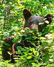 Black Bear, Two Medicine Area, Glacier National Park