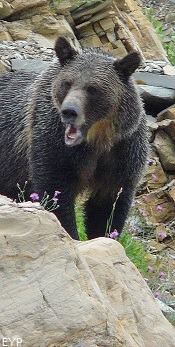 Grizzly Bear, Dawson  Pass, Glacier National Park