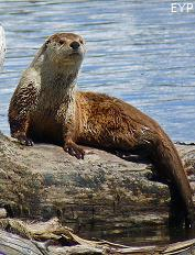 River otter, Yellowstone Lake, Yellowstone National Park